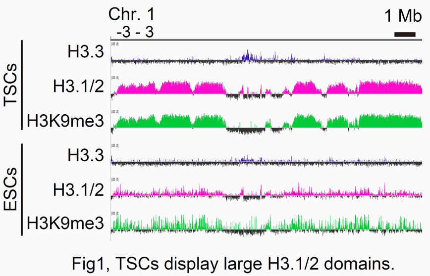 Fig1:  TSCs display large H3.1/2 domains.