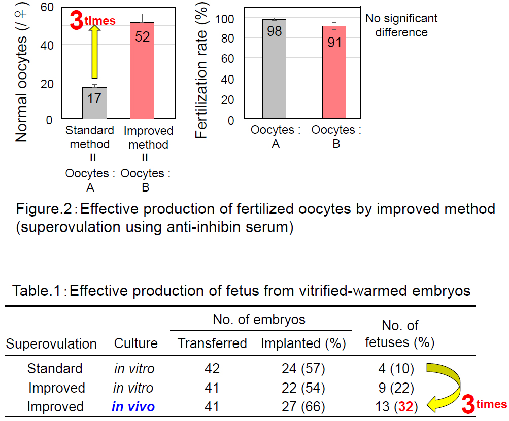 Fig.2:  Effective production of fertilized oocytes by improved method (superovulation using auti-inhibin serum)  Table 1:  Effective production of ferus from vitrified-wamed embryos