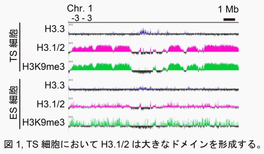 図1:TS細胞においてH3.1/2は大きなドメインを形成する。
