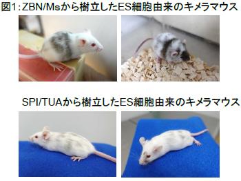 図1:ZBNN/Msから樹立したES細胞由来のキメラマウスとSPI/TUAから樹立したES細胞由来のキメラマウス