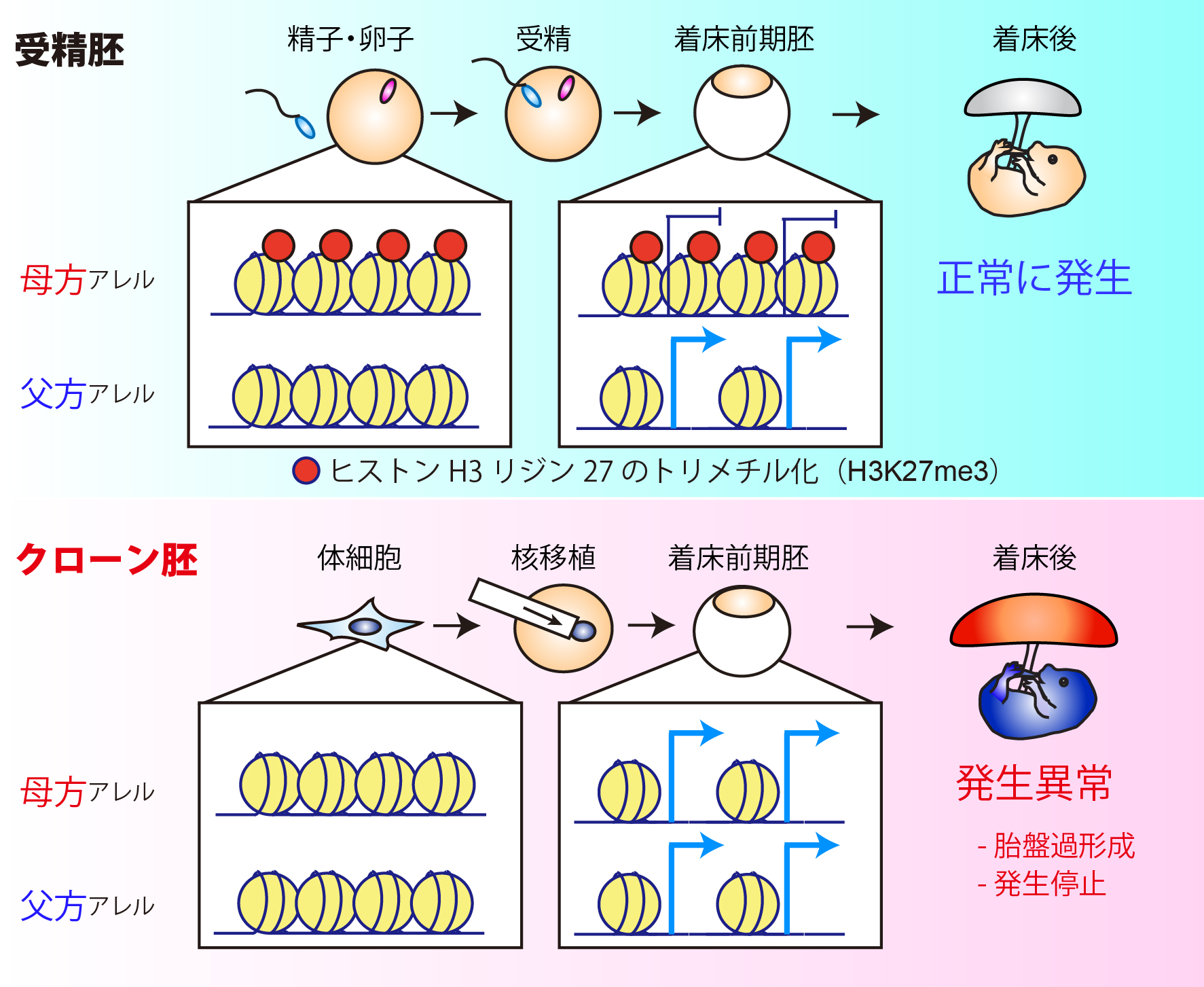 図1:クローン胚胎盤におけるH3K27me3ゲノムインプリンティングの喪失