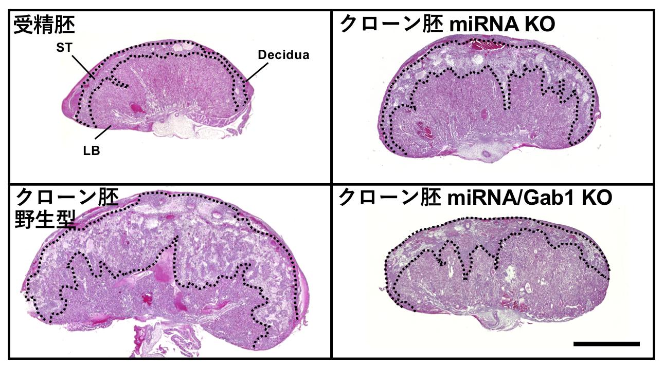 図2:受精胚、野生型クローン胚、Sfmbt2 miRNA KOクローン胚の胎盤形態